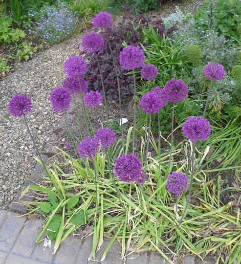 Allium hollandicum - 2013 (Allium x hollandicum)