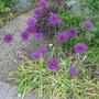 Allium_hollandicum_2013