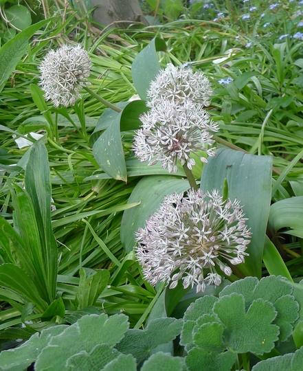 Allium karataviense - 2013 (Allium karataviense)