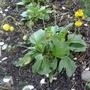 Calceolaria_polyrhiza_2013