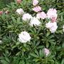 Rhododendron Yakushimanum.