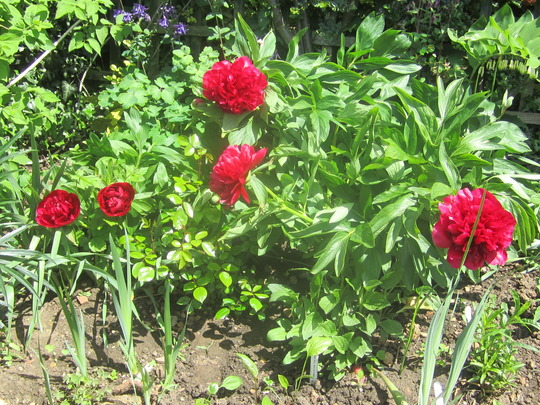 Poeony Flowers... (paeonia officinalis)