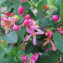 What's this? this is Lonicera tartarica! (Lonicer tartarica)