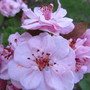 Rescued crabapple in blossom.