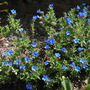 Lithodora Diffusa - Grace Ward