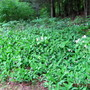 forest margin...lily of the valley and trilliums