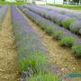 Lavender_field_norfolk