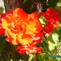 Rose_unknown
