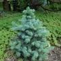 Baby Blue Colorado Spruce - New growth