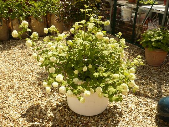 Vibernum - Snowball Bush.