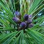 Pinus Patula  Jelecote Pine (Pinus Patula (Jelecote Pine))