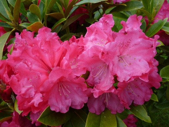 Rhododendron Nova
