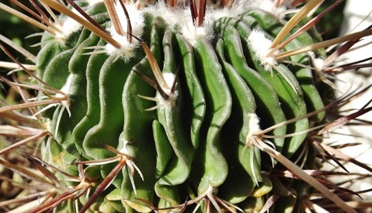 Stenocactus hastatus