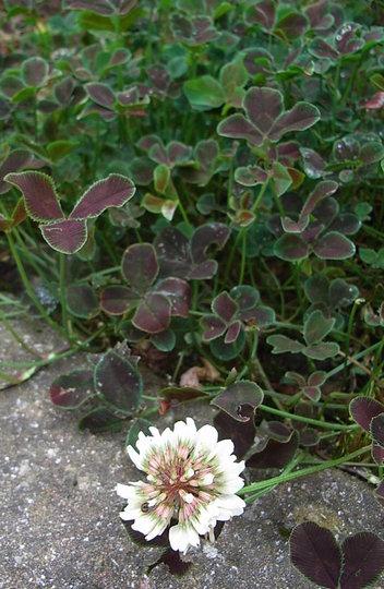 Trifolium repens 'Purpurescens' (Trifolium repens)