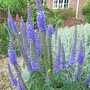 Veronica_longifolia_blue_form