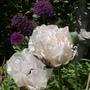 Poppies_025