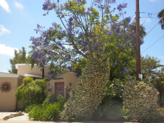 Jacaranda Tree in Bloom and Trachelospermum jasminoides (star jasmine) (Jacaranda)