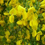 Broom  (Cytisus scoparius)