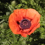 first poppy of the year