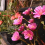 another pic of one of the Lewisias