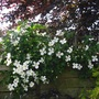 Clematis montana and Beech tree