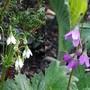 Cortusa matthioli (Cortusa matthioli)