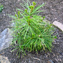 Sciadopitys verticillata (Japanese Umbrella Pine)