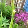 Sisyrinchium striatum (Sisyrinchium striatum (Sisyrinchium))