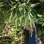 Sisyrinchium plant (Sisyrinchium striatum (Sisyrinchium))