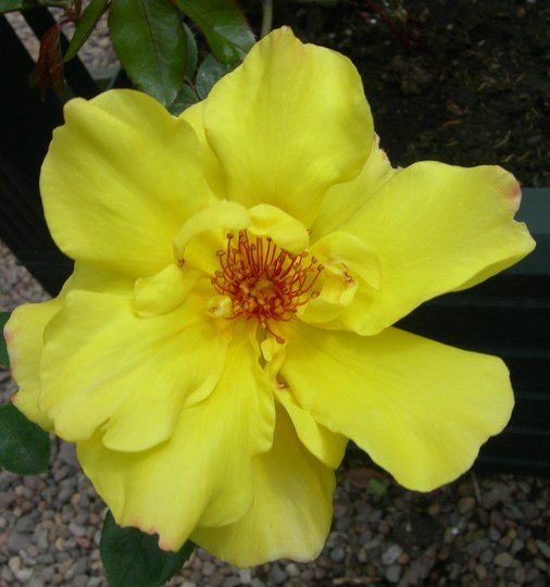 """Climbing Rose """"Golden Showers"""""""