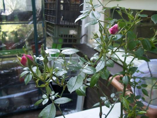 rose bush unknown var (rosa incognita)