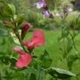 Salvia gregii 'Peach Cobbler' (Salvia greggii (Autumn sage))