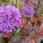 Allium 'Purple Sensation' with Physocarpus 'Burning Embers' (Physocarpus opulifolius (Ninebark))