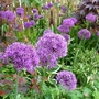 Alliumtastic! (Allium hollandicum (Ornamental onion))