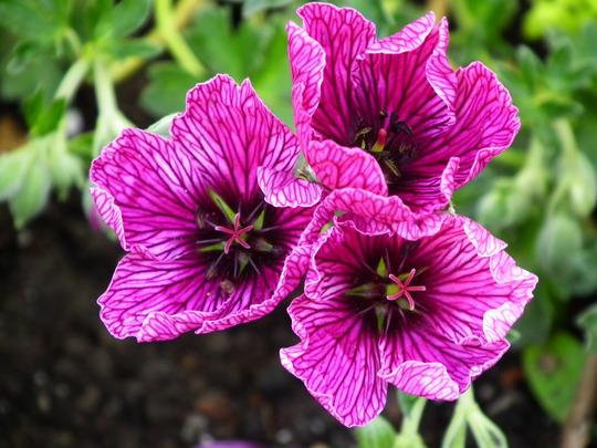 Geranium purple pillow (Geranium purple pillow)