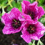 Geranium purple pillow (Geranium purple pillow)