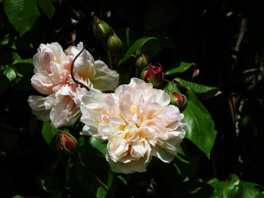 Rosa desprez a fleur jaune (Rosa desprez a fleur jaune)