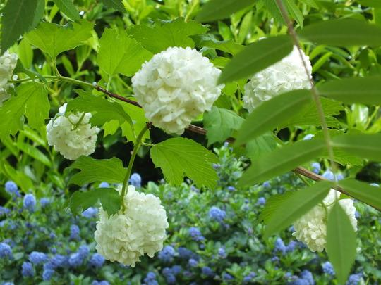 Viburnum Opulus 'Roseum'(snowball tree) (Viburnum opulus (Guelder rose))