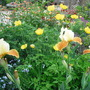 IRIS AND WELSH POPPIES (meconopsis cambrica)