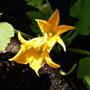 Courgette_flowers_2_