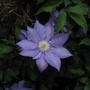 Lavender Clematis-Detail Farmington, CT