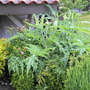 Artichoke (Cynara scolymus (Artichoke Imperial Star))