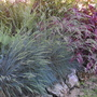 Blue grass (festuca ovina)