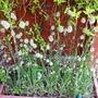 Bunny tails (Lagurus ovatus (Bunny Tails Grass))