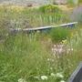 Seaside planting 1
