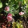 Dwarf dianthus