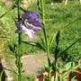 Blue campanula  (campanula persicifolia)