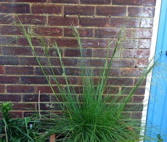 Stipa gigantea (Stipa gigantea (Giant feather grass))