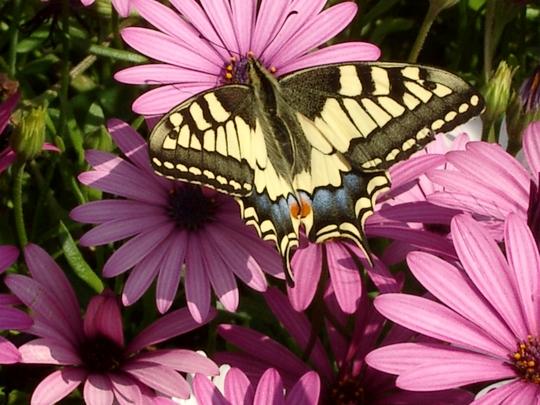 Swallowtail butterfly (osteospurmum)