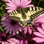 Swallowtail butterfly (osteospurmum)